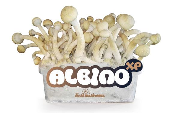 Las setas albinas alucinógenas Psilocybe cubensis Albino A, también conocido como AA, es el cultivo más hermoso de entre todos los Psilocybe cubensis.LAs setas albinas alucinógenas desarrolangrandes setas de color blanquecino.Este especimen de la naturaleza es muy preciado en tre lso cultivadores.