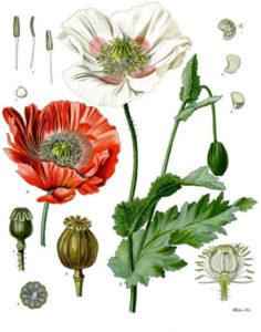 la planta del opio
