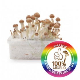 Kit Amazonia mushrooms 100% MICELIO
