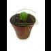 Cactus Peyote 1cm